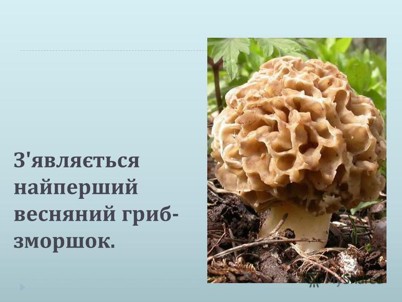 З ' являється найперший весняний гриб - зморшок.