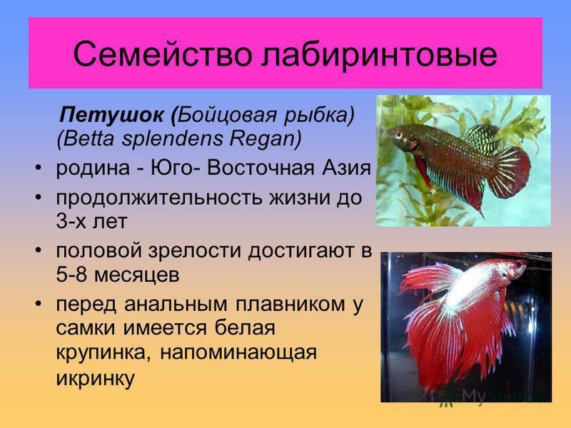 Семейство лабиринтовые Петушок (Бойцовая рыбка) (Betta splendens Regan) родина - Юго- Восточная Азия продолжительность жизни до 3-х лет половой зрелости достигают в 5-8 месяцев перед анальным плавником у самки имеется белая крупинка, напоминающая икр