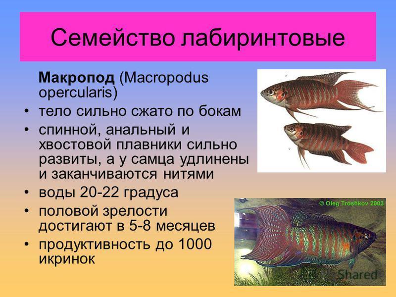 Макропод (Macropodus opercularis) тело сильно сжато по бокам спинной, анальный и хвостовой плавники сильно развиты, а у самца удлинены и заканчиваются нитями воды 20-22 градуса половой зрелости достигают в 5-8 месяцев продуктивность до 1000 икринок С