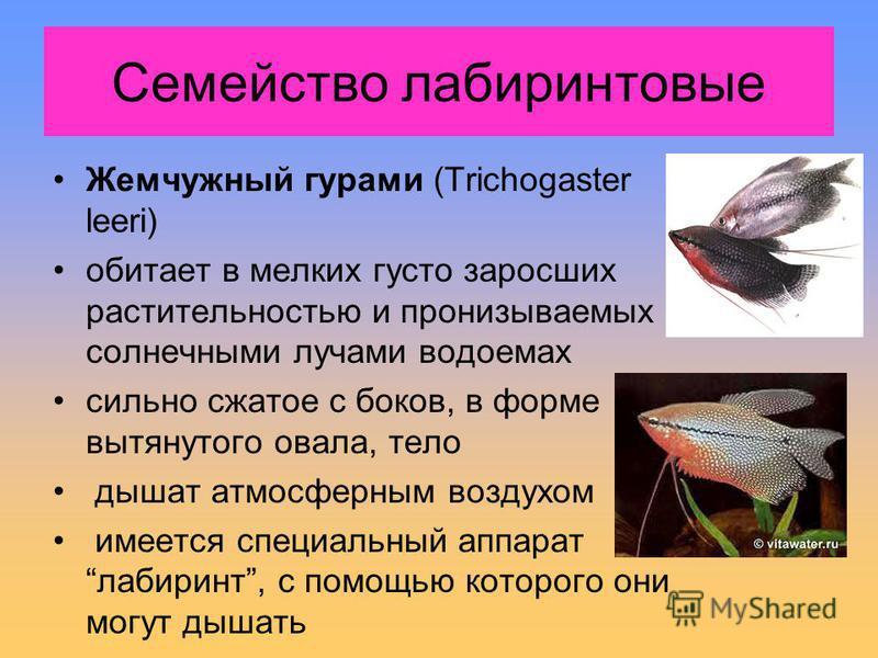 Жемчужный гурами (Trichogaster leeri) обитает в мелких густо заросших растительностью и пронизываемых солнечными лучами водоемах сильно сжатое с боков, в форме вытянутого овала, тело дышат атмосферным воздухом имеется специальный аппарат лабиринт, с
