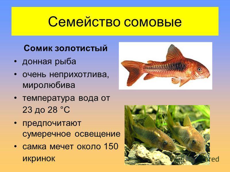 Семейство сомовые Сомик золотистый донная рыба очень неприхотлива, миролюбива температура вода от 23 до 28 °С предпочитают сумеречное освещение самка мечет около 150 икринок