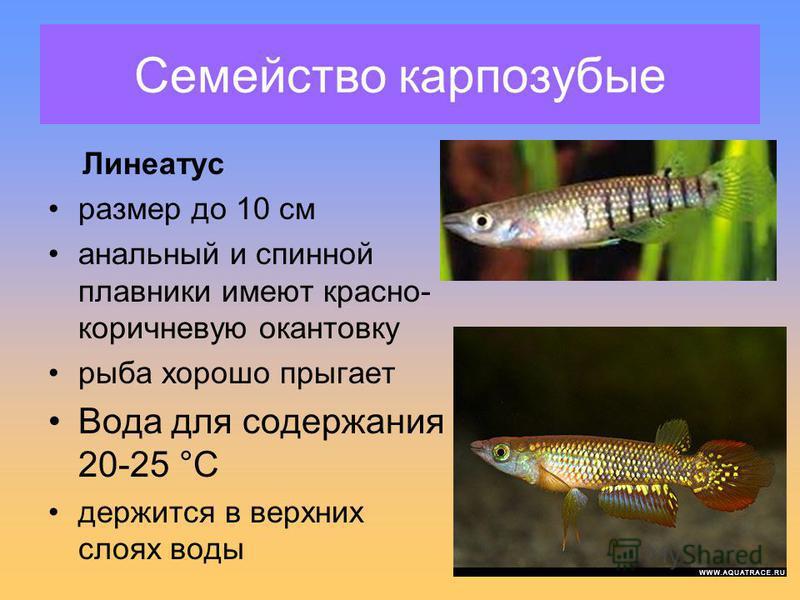 Семейство карпозубые Линеатус размер до 10 см анальный и спинной плавники имеют красно- коричневую окантовку рыба хорошо прыгает Вода для содержания 20-25 °С держится в верхних слоях воды