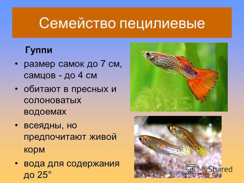 Семейство пецилиевые Гуппи размер самок до 7 см, самцов - до 4 см обитают в пресных и солоноватых водоемах всеядны, но предпочитают живой корм вода для содержания до 25°