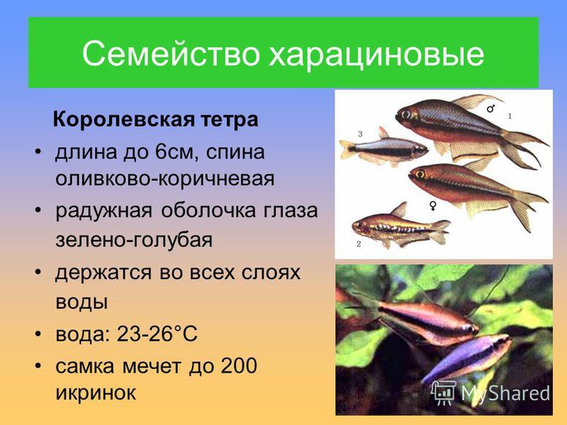 Семейство харациновые Королевская тетра длина до 6 см, спина оливково-коричневая радужная оболочка глаза зелено-голубая держатся во всех слоях воды вода: 23-26°С самка мечет до 200 икринок