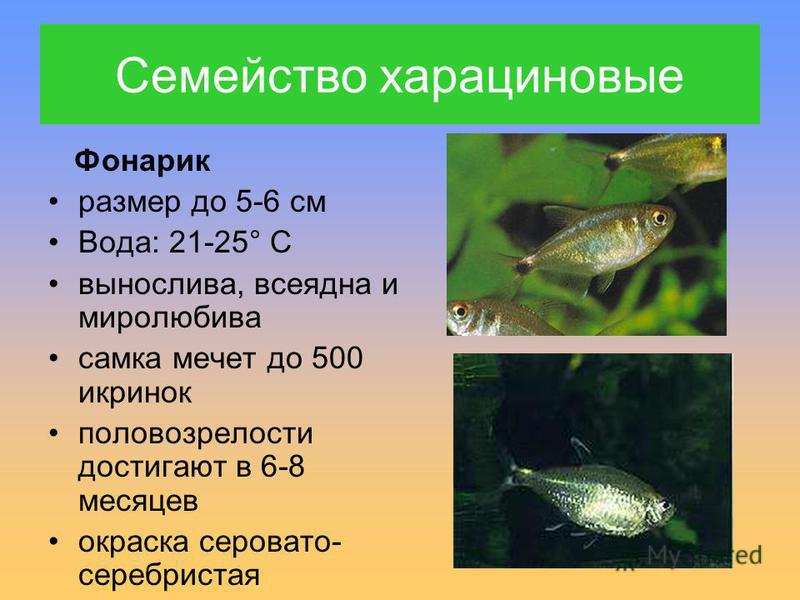 Фонарик размер до 5-6 см Вода: 21-25° С вынослива, всеядна и миролюбива самка мечет до 500 икринок половозрелости достигают в 6-8 месяцев окраска серовато- серебристая Семейство харациновые