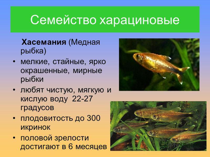 Хасемания (Медная рыбка) мелкие, стайные, ярко окрашенные, мирные рыбки любят чистую, мягкую и кислую воду 22-27 градусов плодовитость до 300 икринок половой зрелости достигают в 6 месяцев Семейство харациновые
