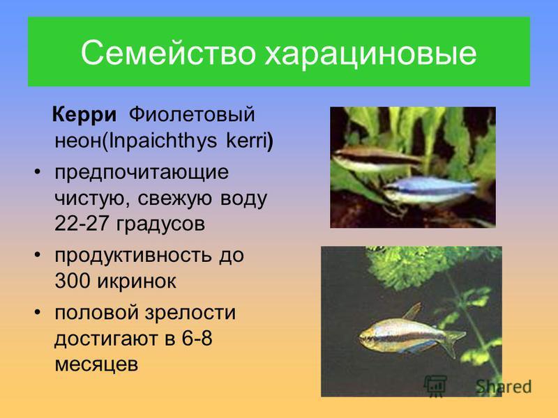 Керри Фиолетовый неон(Inpaichthys kerri) предпочитающие чистую, свежую воду 22-27 градусов продуктивность до 300 икринок половой зрелости достигают в 6-8 месяцев Семейство харациновые