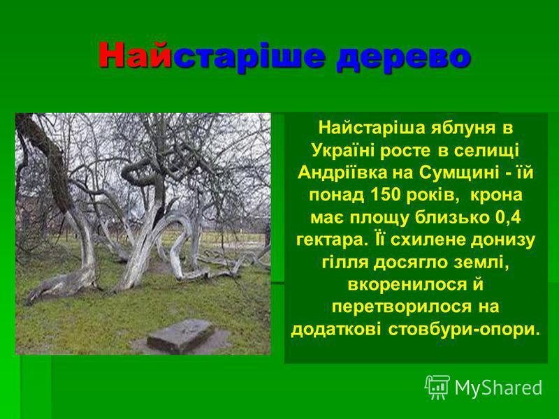 Найстаріше дерево Найстаріша яблуня в Україні росте в селищі Андріївка на Сумщині - їй понад 150 років, крона має площу близько 0,4 гектара. Її схилене донизу гілля досягло землі, вкоренилося й перетворилося на додаткові стовбури-опори.