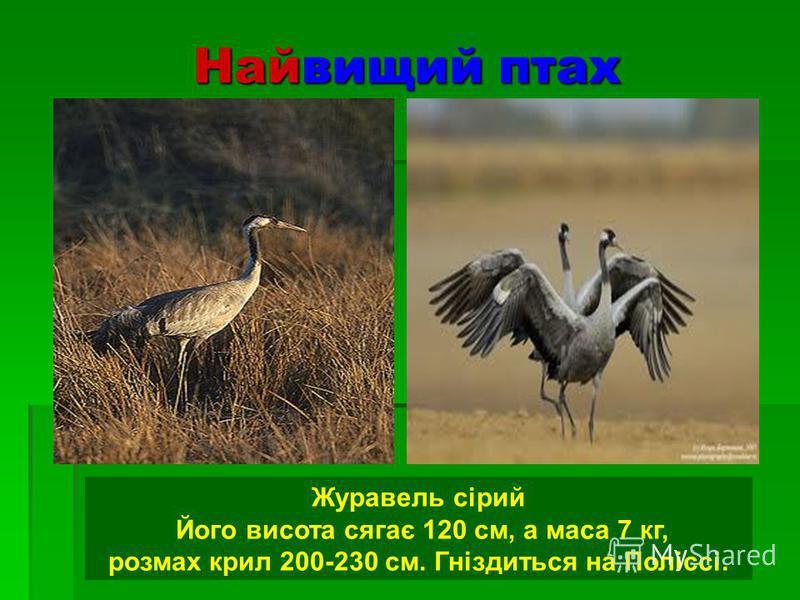 Найвищий птах Журавель сірий Його висота сягає 120 см, а маса 7 кг, розмах крил 200-230 см. Гніздиться на Поліссі.