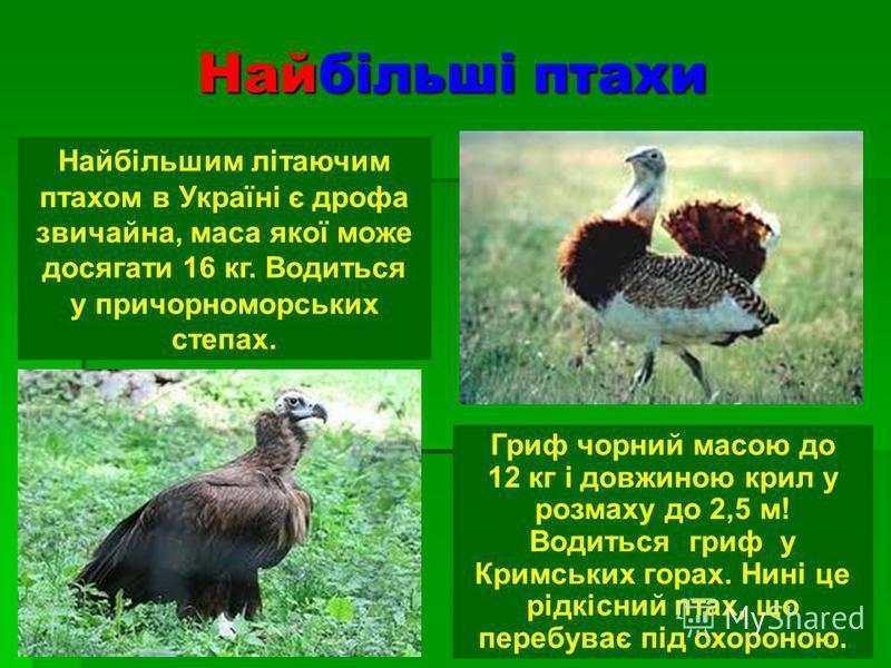 Найбільші птахи Найбільшим літаючим птахом в Україні є дрофа звичайна, маса якої може досягати 16 кг. Водиться у причорноморських степах. Гриф чорний масою до 12 кг і довжиною крил у розмаху до 2,5 м! Водиться гриф у Кримських горах. Нині це рідкісни