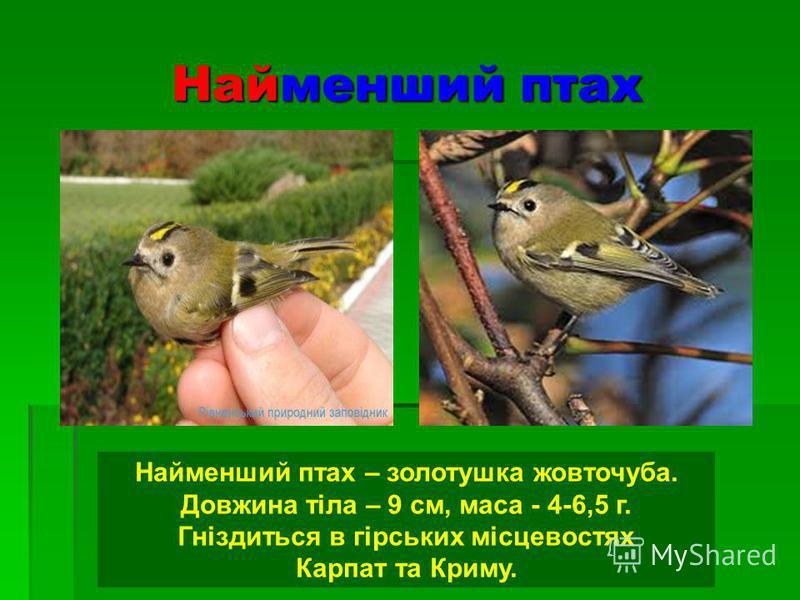 Найменший птах Найменший птах – золотушка жовточуба. Довжина тіла – 9 см, маса - 4-6,5 г. Гніздиться в гірських місцевостях Карпат та Криму.