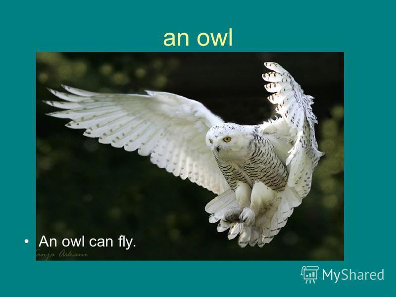 an owl An owl can fly.