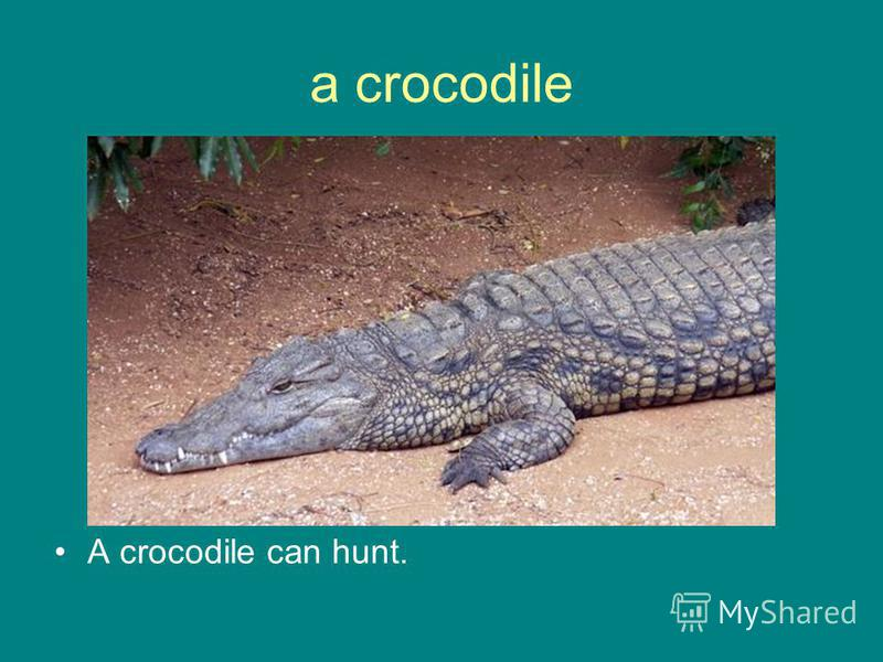a crocodile A crocodile can hunt.