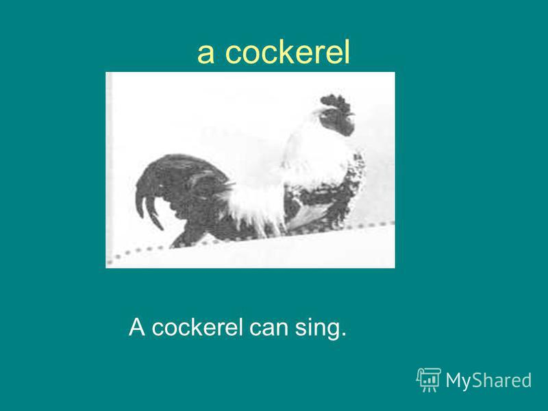 a cockerel A cockerel can sing.