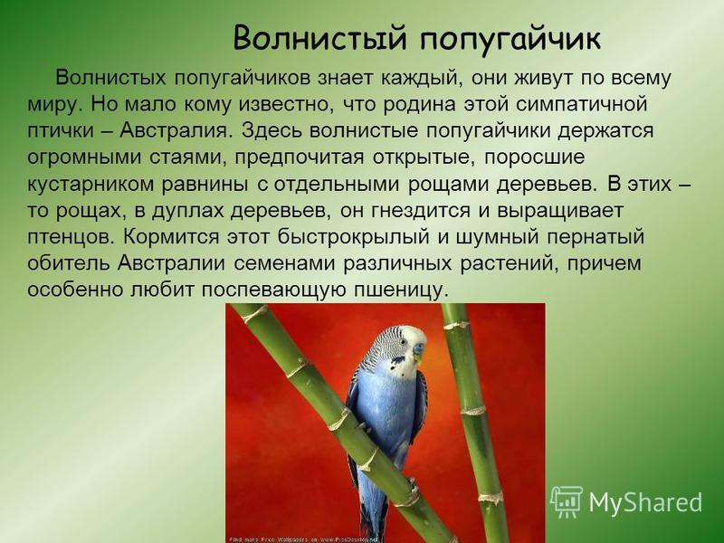 Волнистый попугайчик Волнистых попугайчиков знает каждый, они живут по всему миру. Но мало кому известно, что родина этой симпатичной птички – Австралия. Здесь волнистые попугайчики держатся огромными стаями, предпочитая открытые, поросшие кустарнико
