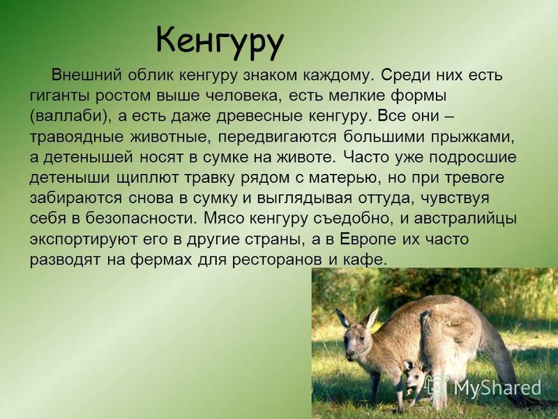 Кенгуру Внешний облик кенгуру знаком каждому. Среди них есть гиганты ростом выше человека, есть мелкие формы (валлаби), а есть даже древесные кенгуру. Все они – травоядные животные, передвигаются большими прыжками, а детенышей носят в сумке на животе