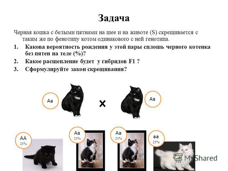 Задача Черная кошка с белыми пятнами на шее и на животе (S) скрещивается с таким же по фенотипу котом одинакового с ней генотипа. 1. Какова вероятность рождения у этой пары сплошь черного котенка без пятен на теле (%)? 2. Какое расщепление будет у ги