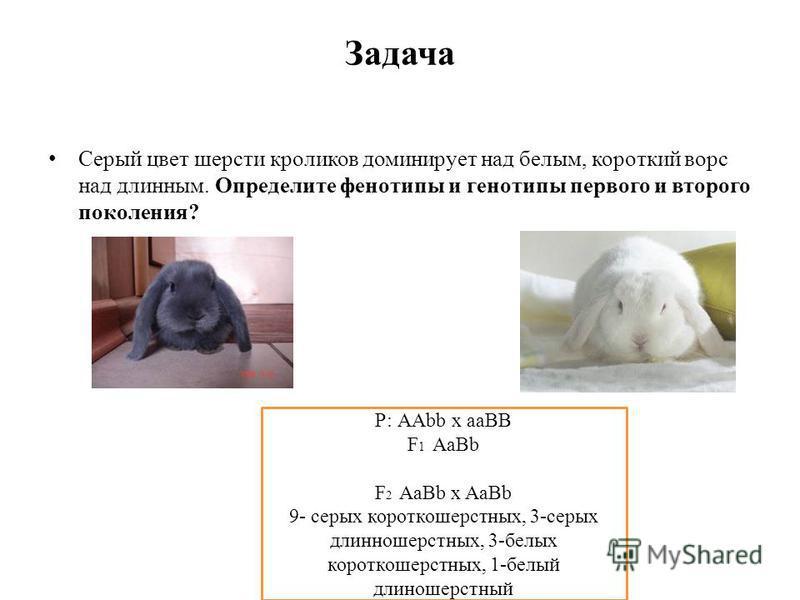 Задача Серый цвет шерсти кроликов доминирует над белым, короткий ворс над длинным. Определите фенотипы и генотипы первого и второго поколения? Р: ААbb х aaBB F 1 AaBb F 2 AaBb x AaBb 9- серых короткошерстных, 3-серых длинношерстных, 3-белых короткоше