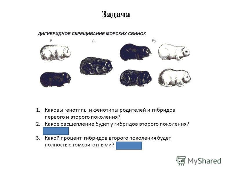 Задача 1. Каковы генотипы и фенотипы родителей и гибридов первого и второго поколения? 2. Какое расщепление будет у гибридов второго поколения? (9:3:3:1) 3. Какой процент гибридов второго поколения будет полностью гомозиготными? (12,5%)