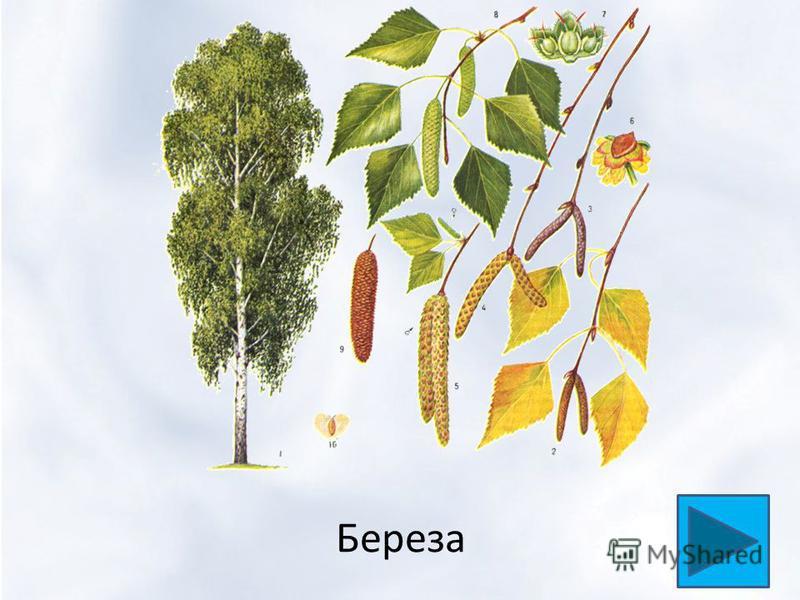 Ббереза