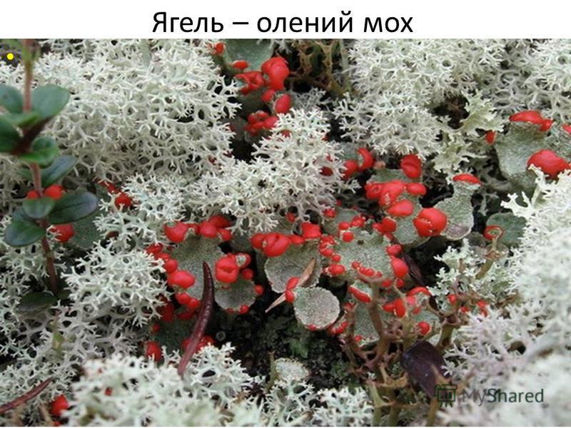 Ягель – олений мох