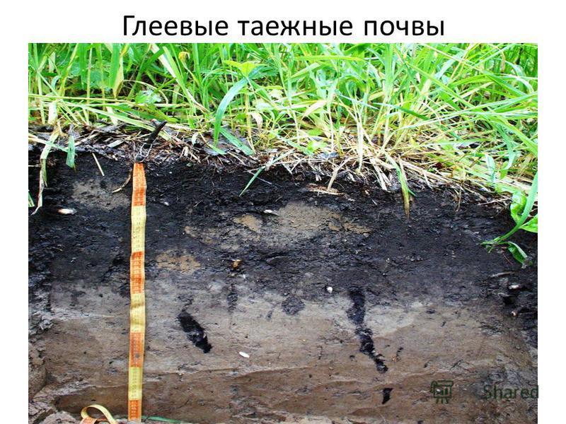 Глеевые таежные почвы