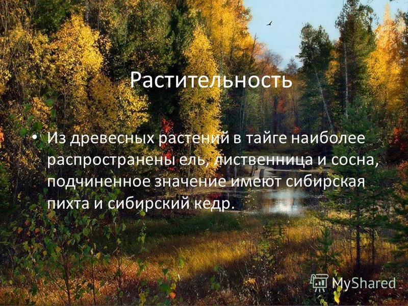 Растительность Из древесных растений в тайге наиболее распространены ель, лиственница и сосна, подчиненное значение имеют сибирская пихта и сибирский кедр.