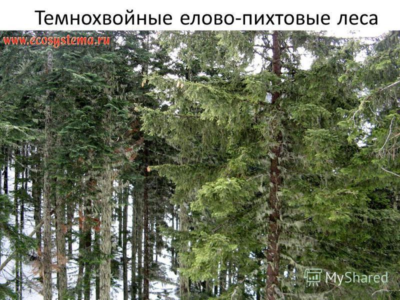 Темнохвойные елово-пихтовые леса