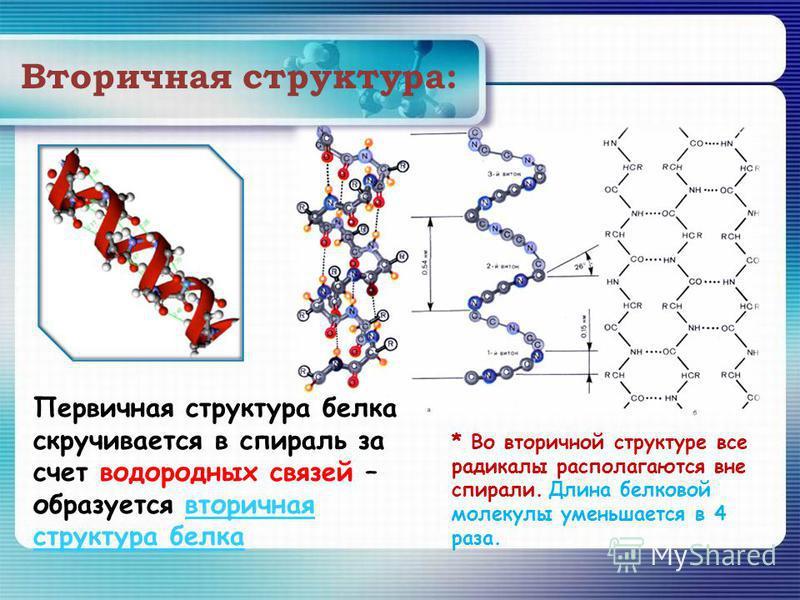 Вторичная структура: * Во вторичной структуре все радикалы располагаются вне спирали. Длина белковой молекулы уменьшается в 4 раза. Первичная структура белка скручивается в спираль за счет водородных связей – образуется вторичная структура белка