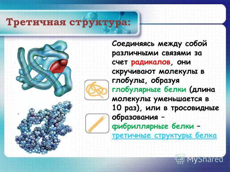 Третичная структура: Соединяясь между собой различными связями за счет радикалов, они скручивают молекулы в глобулы, образуя глобулярные белки (длина молекулы уменьшается в 10 раз), или в просовидные образования – фибриллярные белки – третичные струк