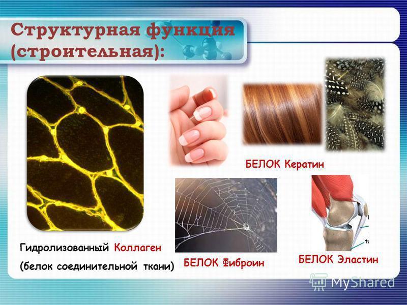 Структурная функция (строительная): Гидролизованный Коллаген (белок соединительной ткани) БЕЛОК Кератин БЕЛОК Фиброин БЕЛОК Эластин