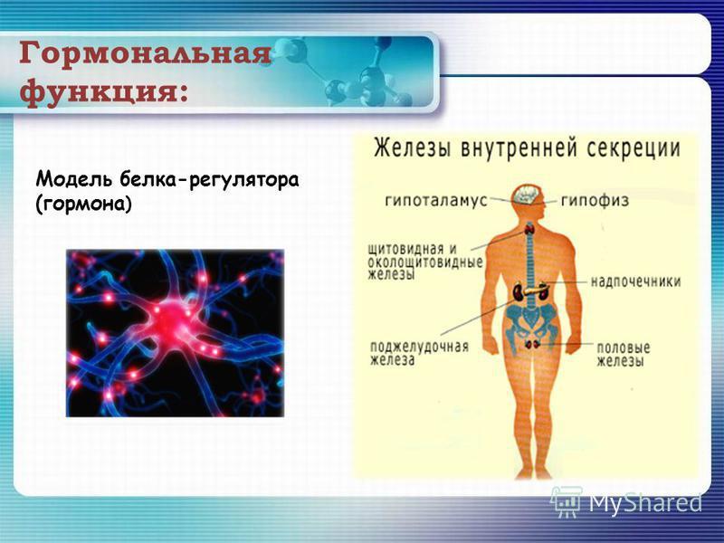 Гормональная функция: Модель белка-регулятора (гормона )