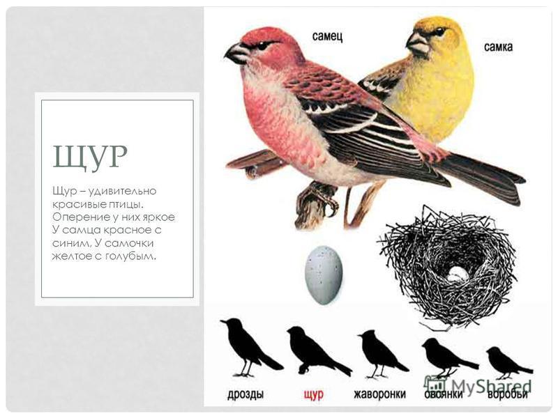 Щур – удивительно красивые птицы. Оперение у них яркое У самца красное с синим, У самочки желтое с голубым. ЩУР
