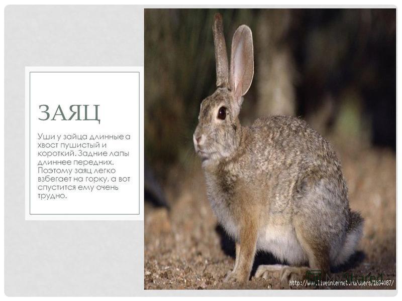 Уши у зайца длинные а хвост пушистый и короткий. Задние лапы длиннее передних. Поэтому заяц легко взбегает на горку, а вот спустится ему очень трудно. ЗАЯЦ