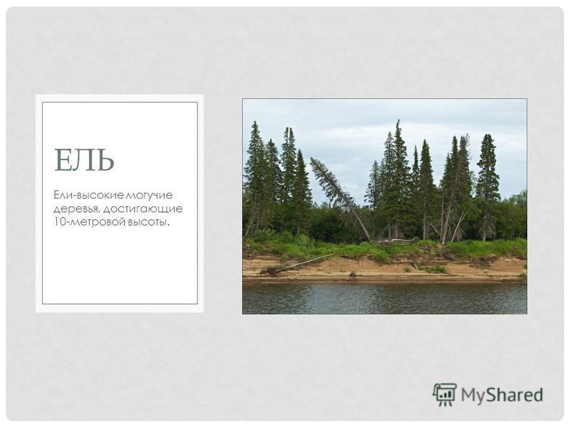 Ели-высокие могучие деревья, достигающие 10-метровой высоты. ЕЛЬ