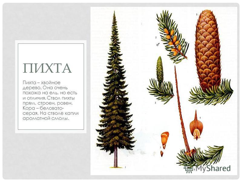 Пихта – хвойное дерево. Она очень похожа на ель, но есть и отличия. Ствол пихты прям, строен, ровен. Кора – беловато- серая. На стволе капли ароматной смолы. ПИХТА