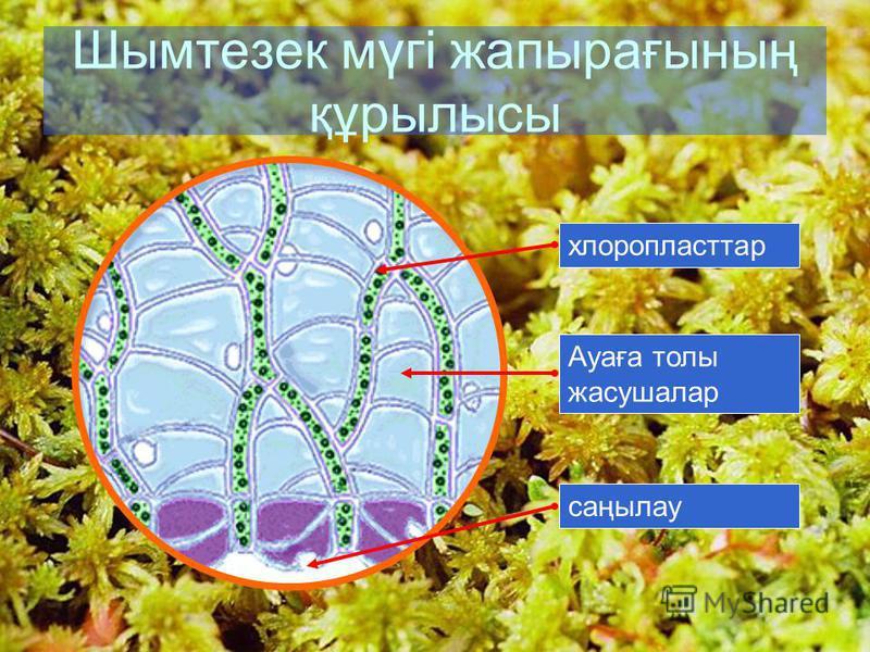 7 Шымтезек мүгі жапырағының құрылысы хлоропласттарАуаға толы жасушалар саңылау