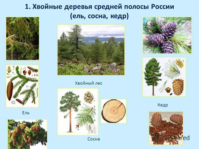 1. Хвойные деревья средней полосы России (ель, сосна, кедр) Сосна Кедр Ель Хвойный лес
