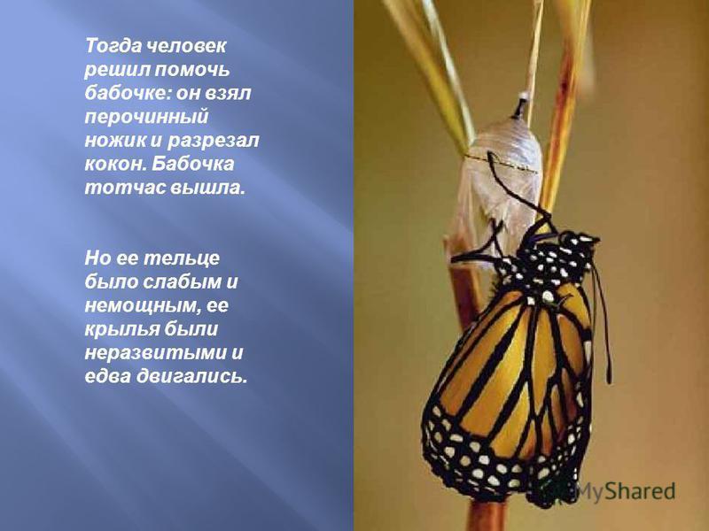 Тогда человек решил помочь бабочке: он взял перочинный ножик и разрезал кокон. Бабочка тотчас вышла. Но ее тельце было слабым и немощным, ее крылья были неразвитыми и едва двигались.