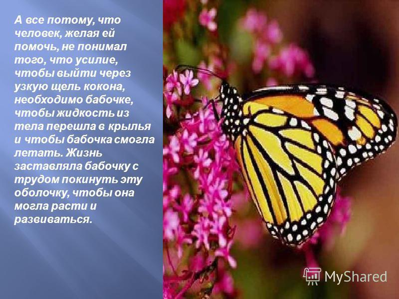 А все потому, что человек, желая ей помочь, не понимал того, что усилие, чтобы выйти через узкую щель кокона, необходимо бабочке, чтобы жидкость из тела перешла в крылья и чтобы бабочка смогла летать. Жизнь заставляла бабочку с трудом покинуть эту об