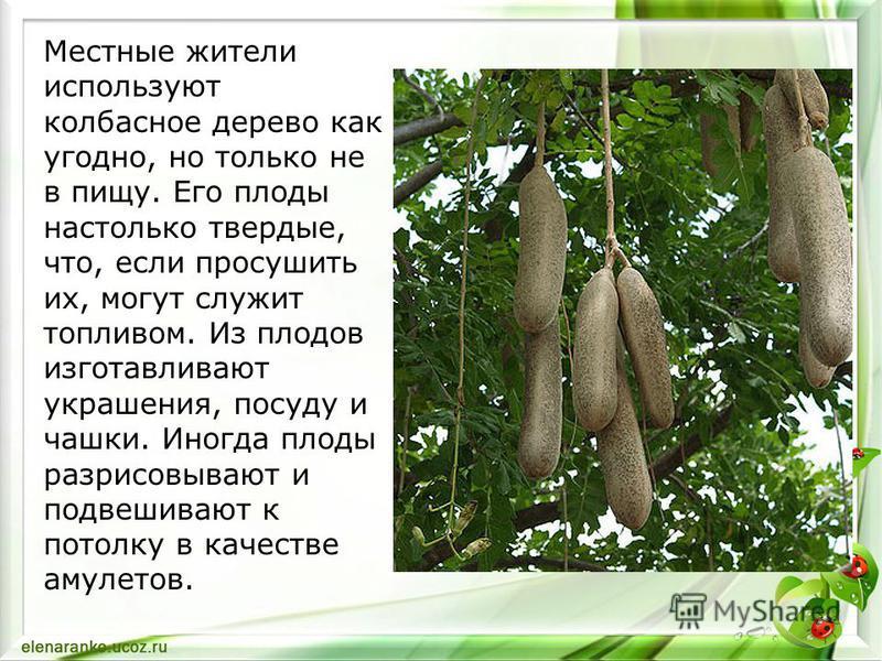 Местные жители используют колбасное дерево как угодно, но только не в пищу. Его плоды настолько твердые, что, если просушить их, могут служит топливом. Из плодов изготавливают украшения, посуду и чашки. Иногда плоды разрисовывают и подвешивают к пото