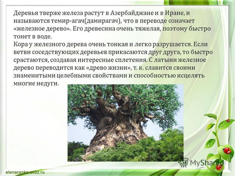 Деревья тверже железа растут в Азербайджане и в Иране, и называются темир-агач(дамирагач), что в переводе означает «железное дерево». Его древесина очень тяжелая, поэтому быстро тонет в воде. Кора у железного дерева очень тонкая и легко разрушается.