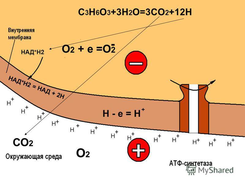 СО 2 О2О2 + + + + + + + + + + ++ Н Н Н Н Н Н Н Н НН Н Н Н + Н - е = Н - О 2 + е =О 2 НАД*Н2 C 3 H 6 O 3 +3H 2 O=3CO 2 +12H +