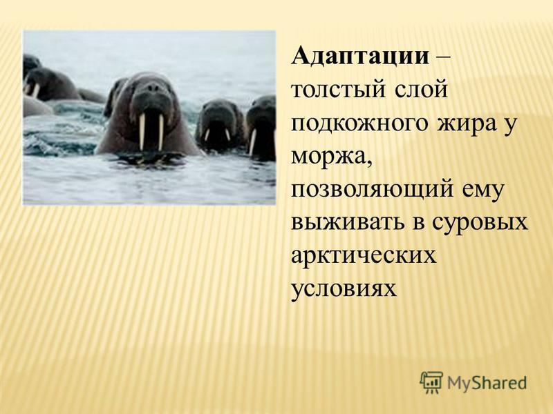 Адаптации – толстый слой подкожного жира у моржа, позволяющий ему выживать в суровых арктических условиях