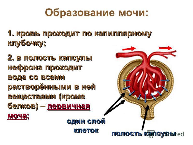 Образование мочи: один слой клеток полость капсулы 1. кровь проходит по капиллярному клубочку; 2. в полость капсулы нефрона проходит вода со всеми растворёнными в ней веществами (кроме белков) – первичная моча;