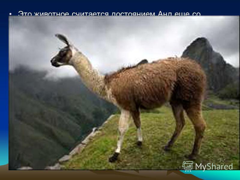 Это животное считается достоянием Анд еще со времен Инков, чья культура достигла здесь своего расцвета к середине 15 века. У ламы плотная и очень нежная шерсть, как нельзя лучше подходящая к холодному горному климату. Потревоженная лама защищается ве