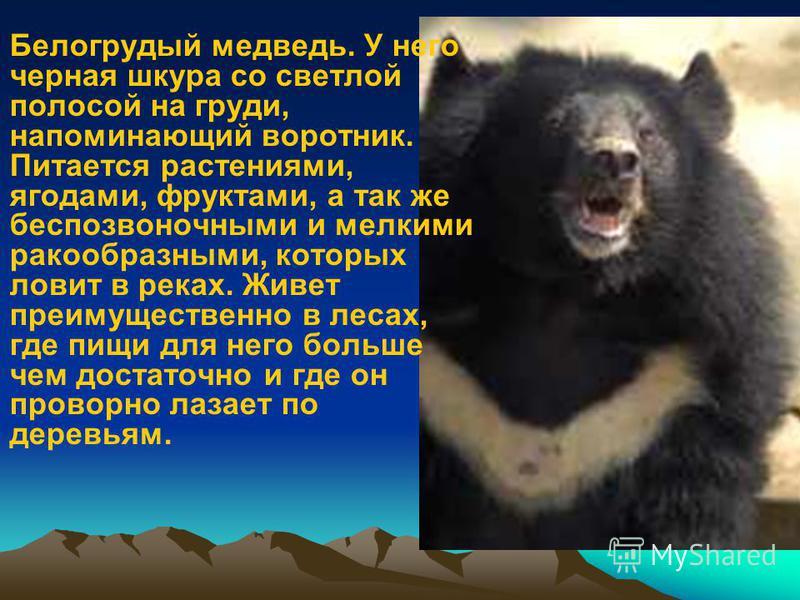 Белогрудый медведь. У него черная шкура со светлой полосой на груди, напоминающий воротник. Питается растениями, ягодами, фруктами, а так же беспозвоночными и мелкими ракообразными, которых ловит в реках. Живет преимущественно в лесах, где пищи для н