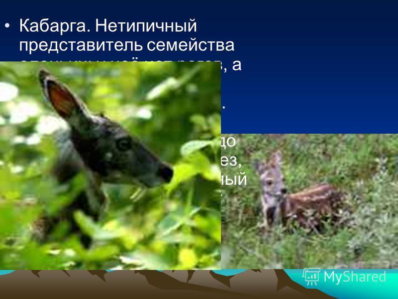 Кабарга. Нетипичный представитель семейства оленьих: у неё нет рогов, а верхние клыки очень развиты, как у хищников. Обитает в лесистых и крутых горах от Тибета до Сибири. Одна из её желез, так называемый мускусный мешочек, вырабатывает секрет с очен