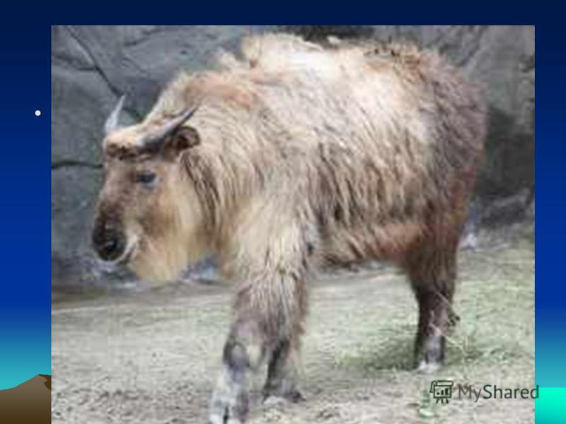 Похожий на быка, Такин массивен и неуклюж, а кроме того, приспособился к жизни на высоте от 2 500 до 4 000 метров, только зимой он спускается ниже из-за нехватки пищи. Если катина спугнет охотник, он укрывается в лесной чаще и ложится, низко пригнув