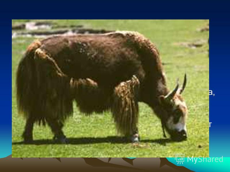 Як живет еще выше до 6 000 метров. Местные жители разводят яков с незапамятных времен. В диком виде эти животные сохранились в Тибете. Як имеет очень толстую шкуру черного цвета, которая высоко в горах защищает его от холода. Домашних яков разводят в